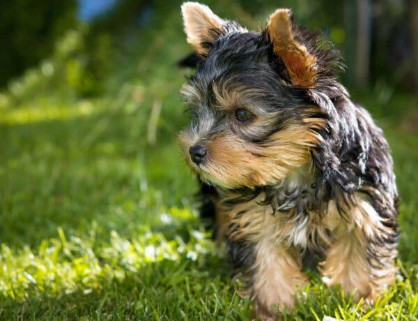 8 kisméretű kutyafajta, ami nem csak cuki, de kiemelkedően okos is