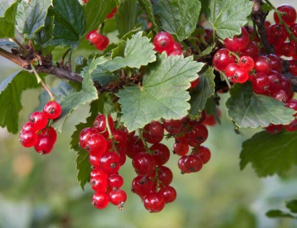 5 gyümölcsbokor, amit megéri elültetni – Ínycsiklandó terméseket hoznak majd