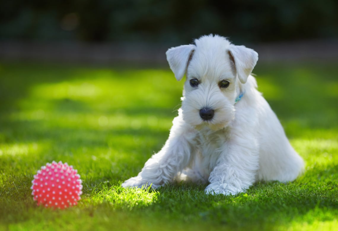 Kutyaszőr allergiád van? 5 hipoallergén kutyafajta, amit te is nyugodtan tarthatsz