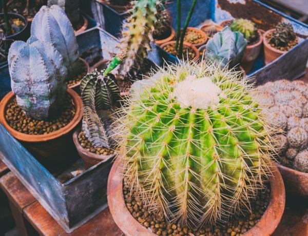 Meseszép kaktuszkertek cserépben – Ezt még te sem tudod elpusztítani