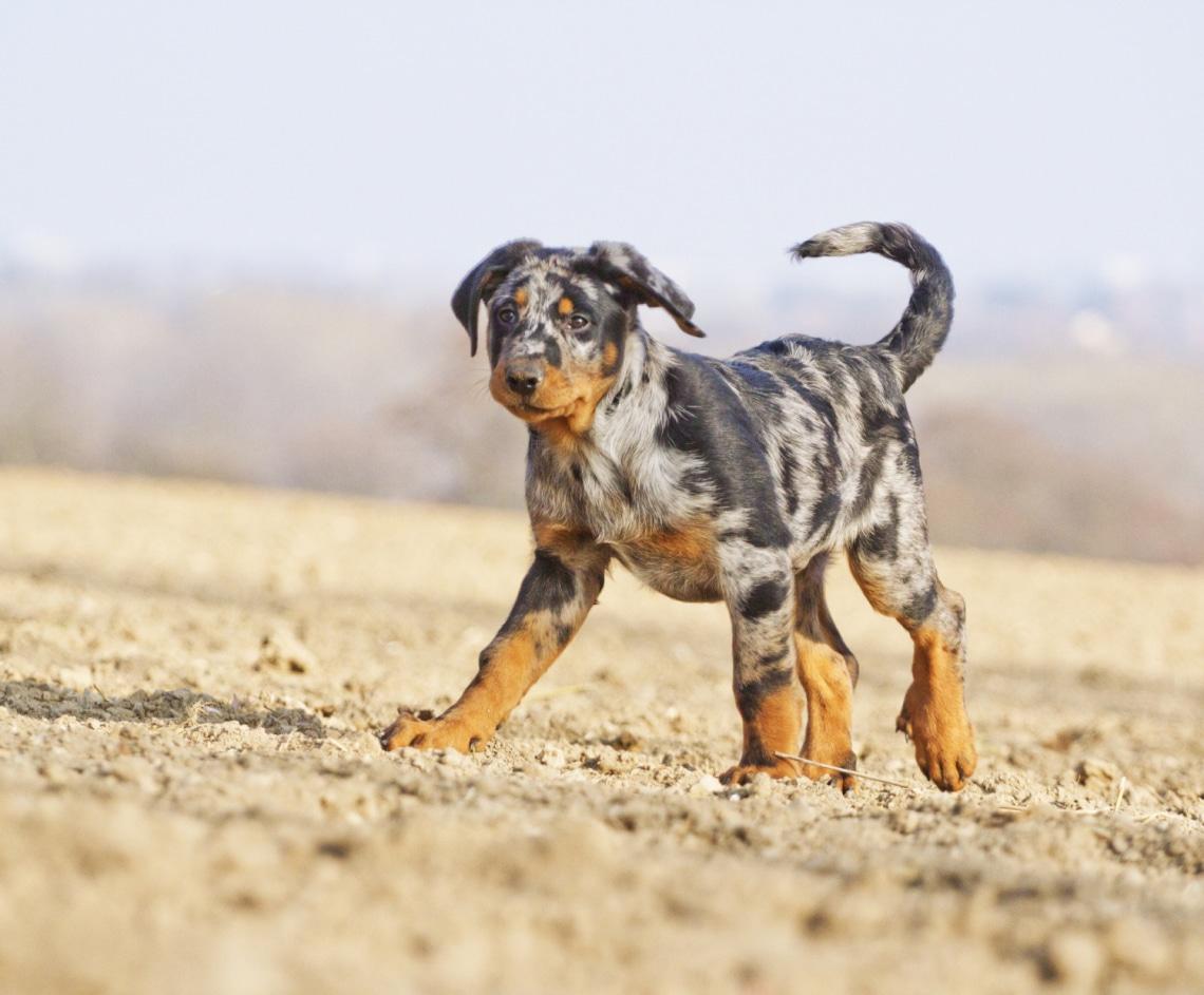 Szépek és egyediek: 5 kutyafajta, amiről lehet, hogy eddig nem is hallottál