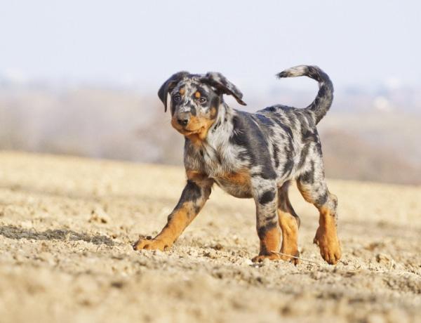 Szépek és különlegesek: 5 kutyafajta, amiről még lehet, hogy nem is hallottál