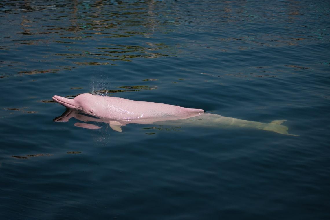 A járvány alatt visszatértek Hong Kong vizeibe a különleges delfinek
