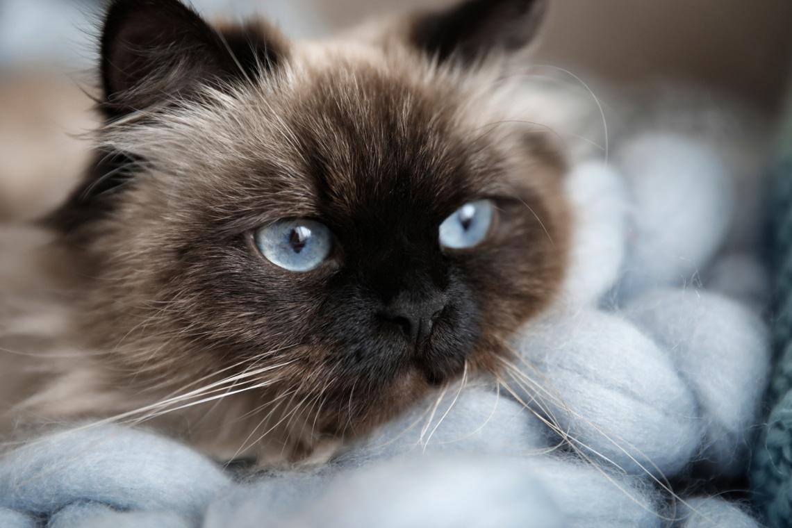 5 kistestű macskafajta, akik nagy helyet követelnek a szívedben