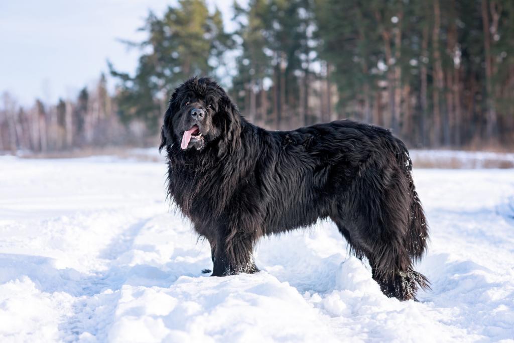Újfunlandi kutya