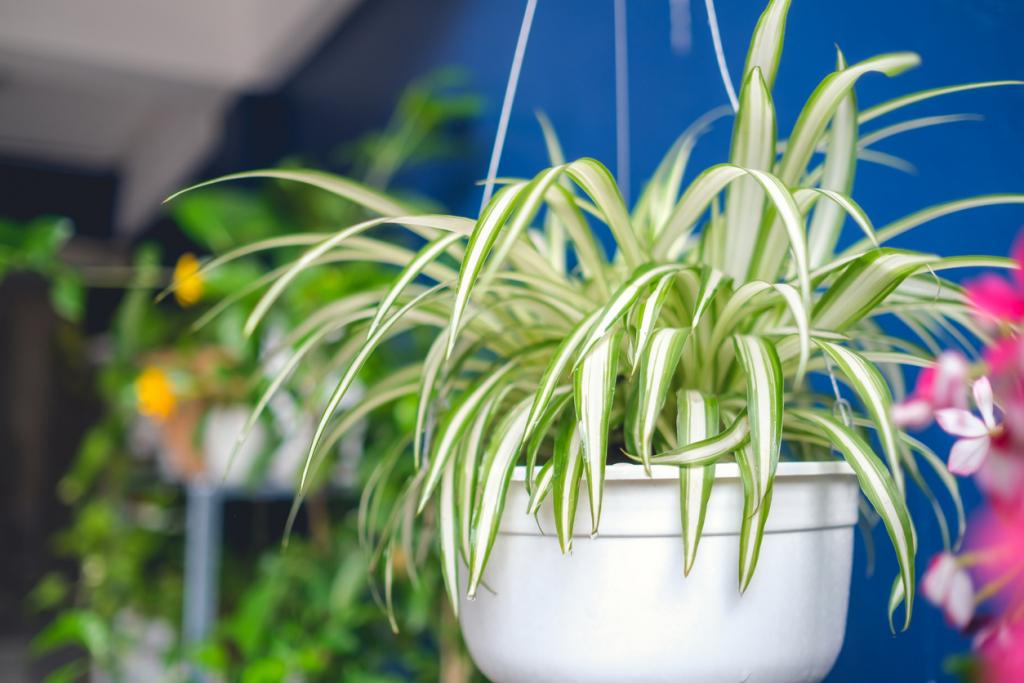 Zöldike (Chlorophytum comosum)