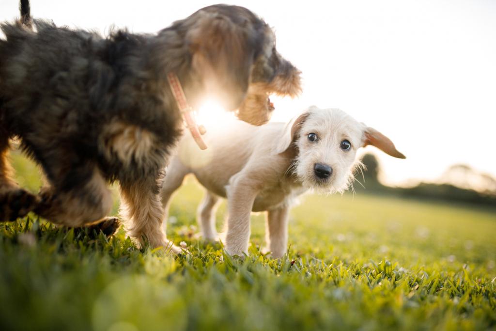 Kutyák játszanak