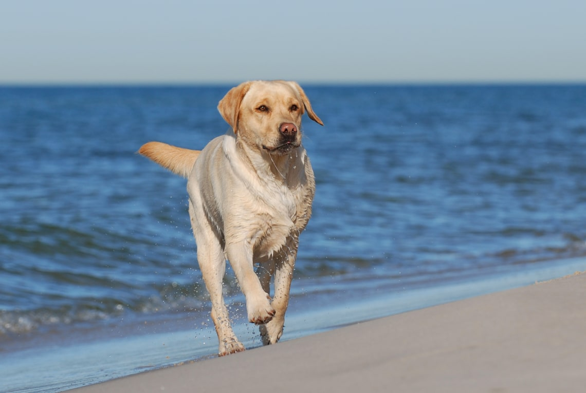 Labrador retriever, legjobb családi kutya
