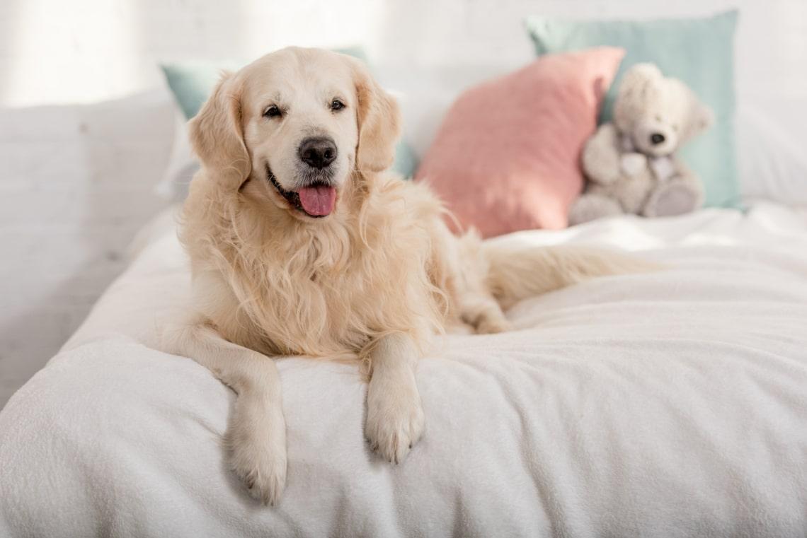 Golden retriever, legjobb családi kutyafajta