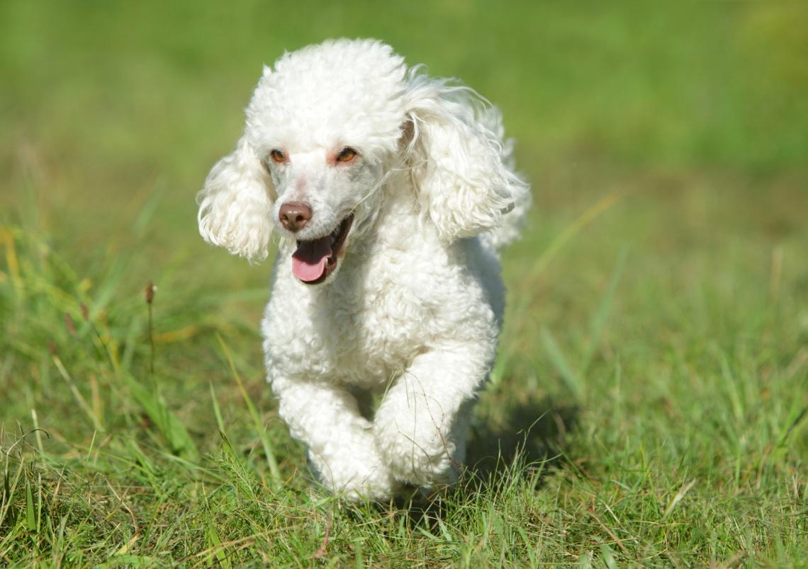 Uszkár, családbarát kutya