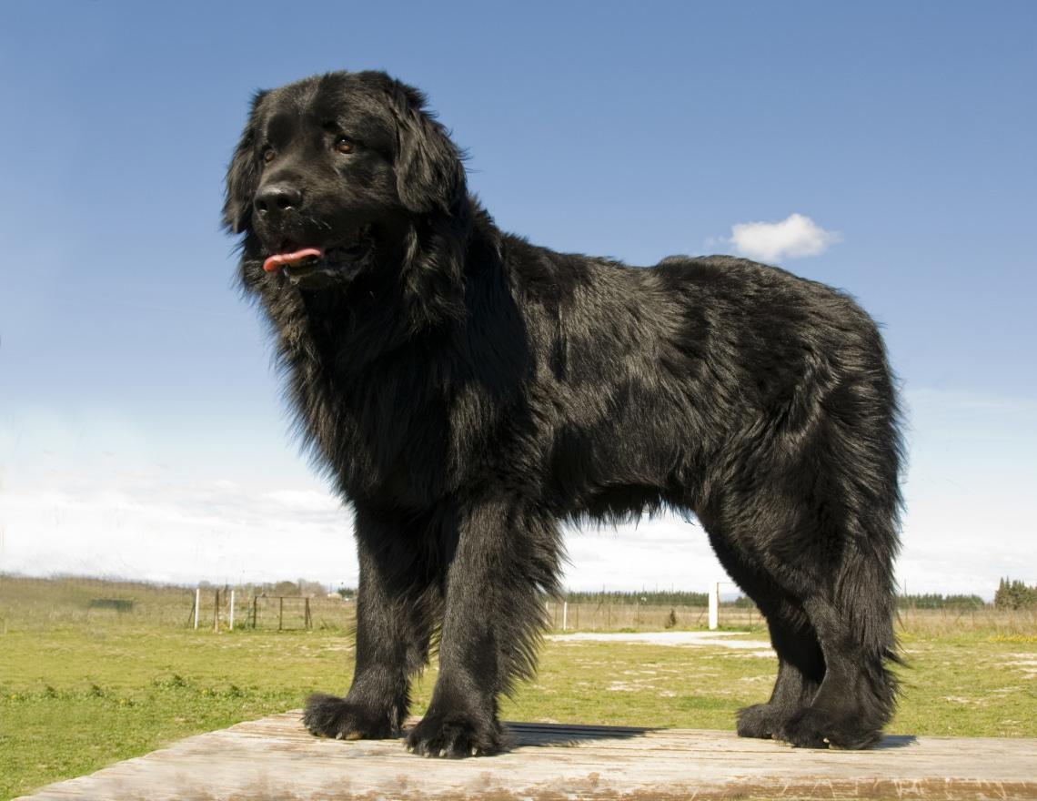 Newfoundland családi kutya