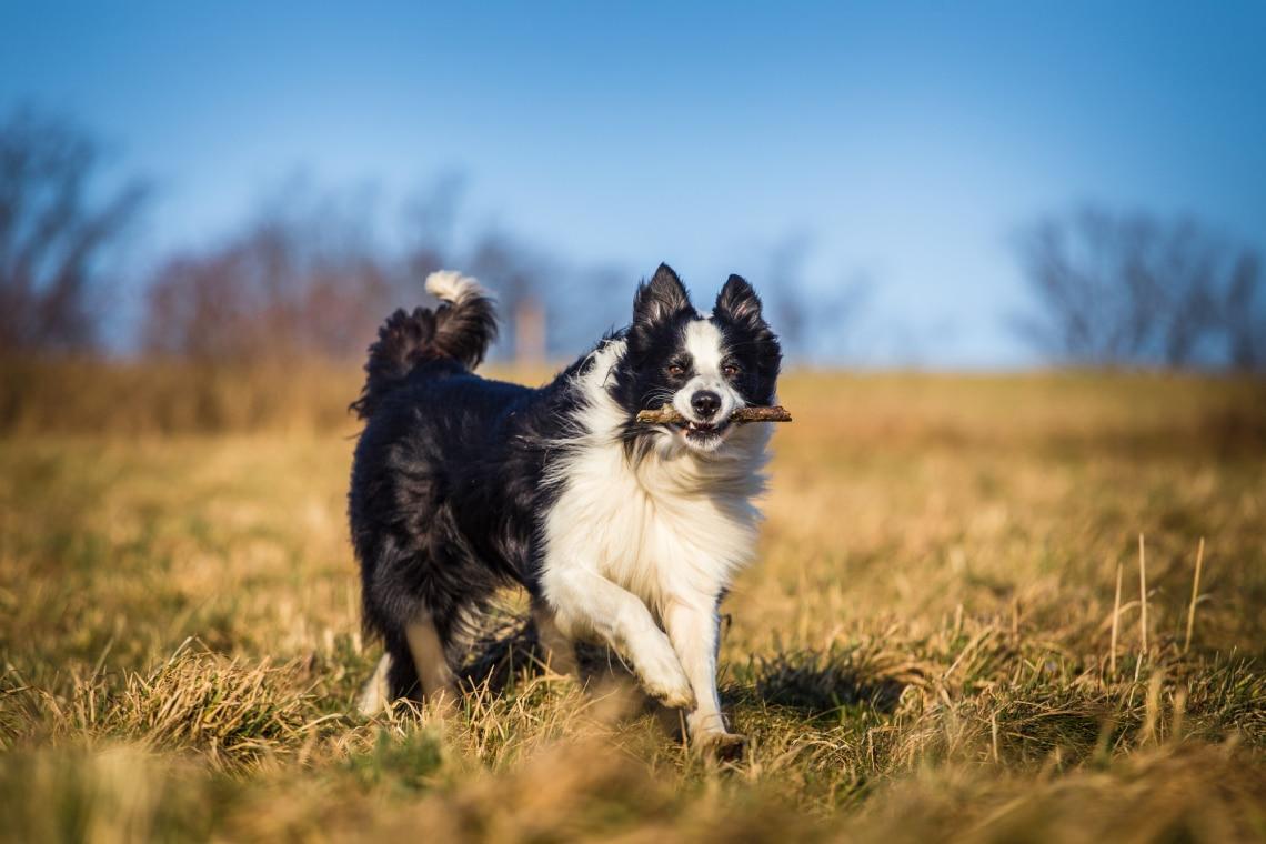 Border Collie családi kutyafajta