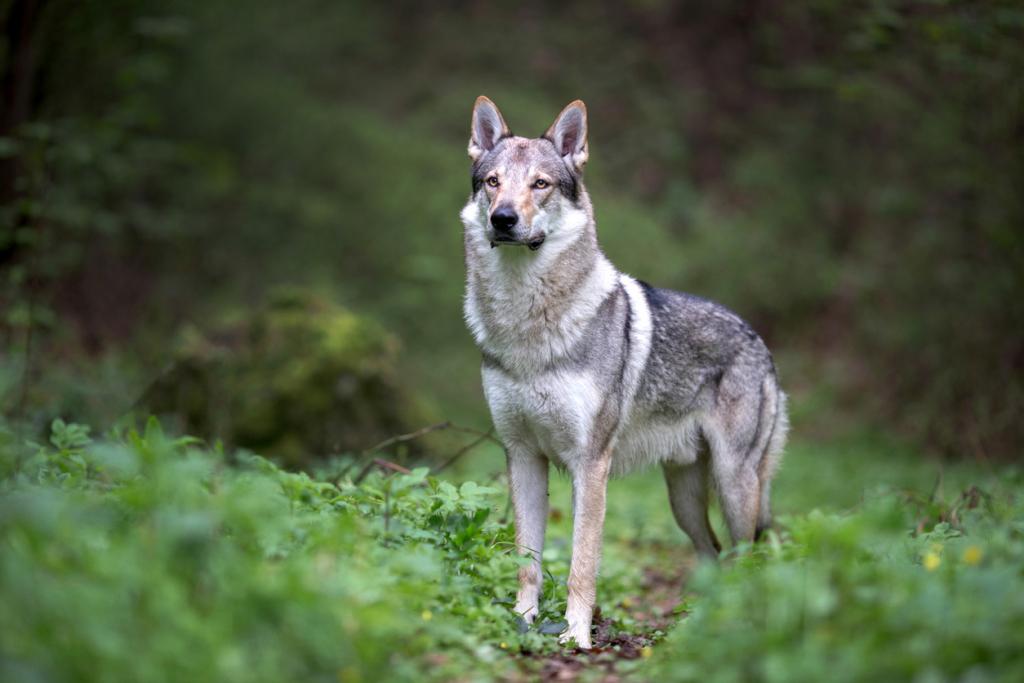 Csehszlovák farkaskutya