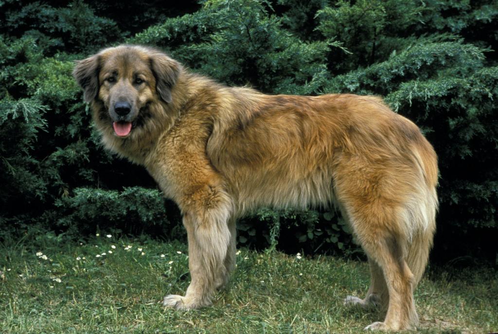 Estrelai hegyi kutya, Cao Da Serra Da Estrela