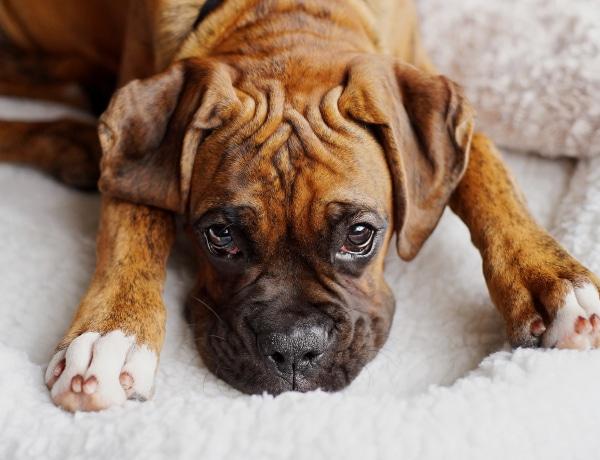 5 ragaszkodó kutyafajta, aki imádni fog a kanapén összebújni veled