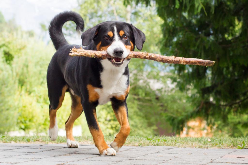 Appenzeller Sennenhund kutya