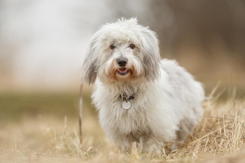 Coton de tuléar kutya