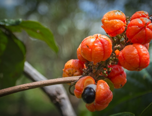Ebben a gyümölcsben több a koffein, mint a kávéban
