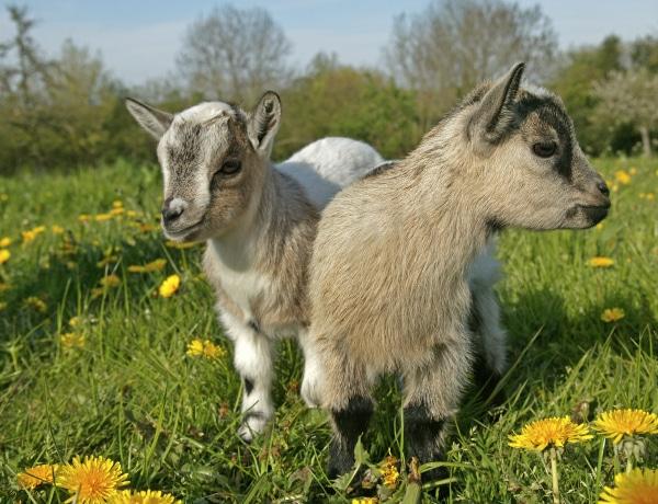 A legkedveltebb, legcukibb törpe állatok, amiket otthon is tarthatsz
