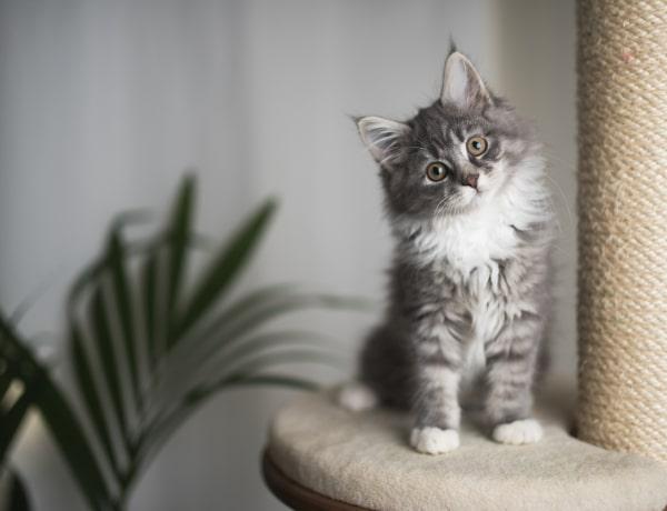 A legszebb 5 macskafajta a világon – Melyiket fogadnád el?