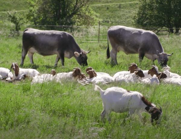 A birkák után már a fűnyíró tehenek is szolgálatba álltak