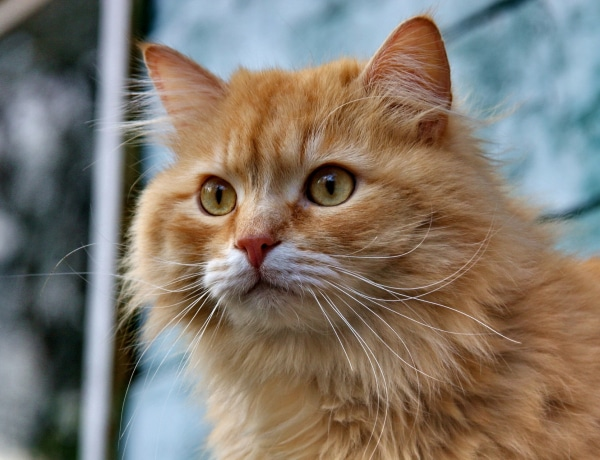 A világ 10 legszebb macskafajtája – Mindegyik egyedülállóan különleges!