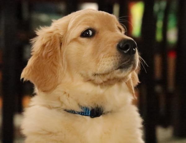 5 szelíd kutyafajta, ami tökéletes az érzékeny, érzelmes emberek mellé