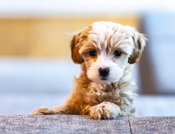 Ha 10-ből 7 kutyafajtát felismersz a kölyökkori képeken, igazi kutyákkal suttogó vagy!