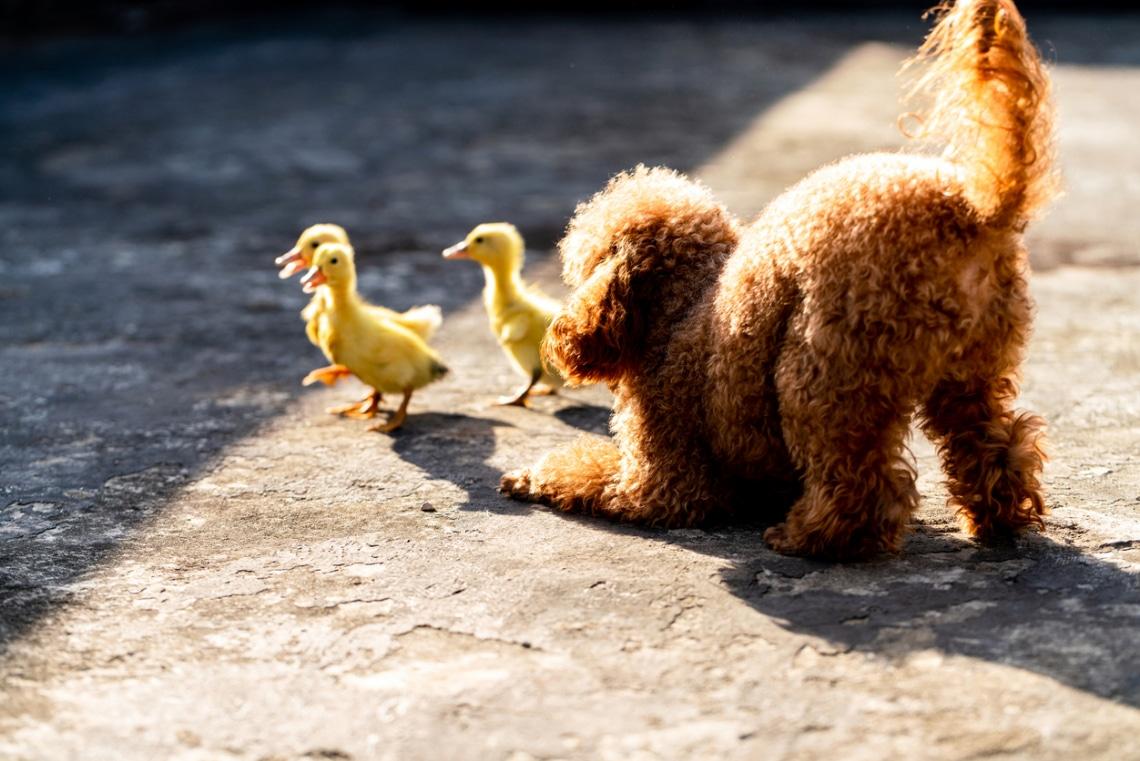 Kacsa-kutya barátság? 5 furcsa, de szívmelengető állatbarátság