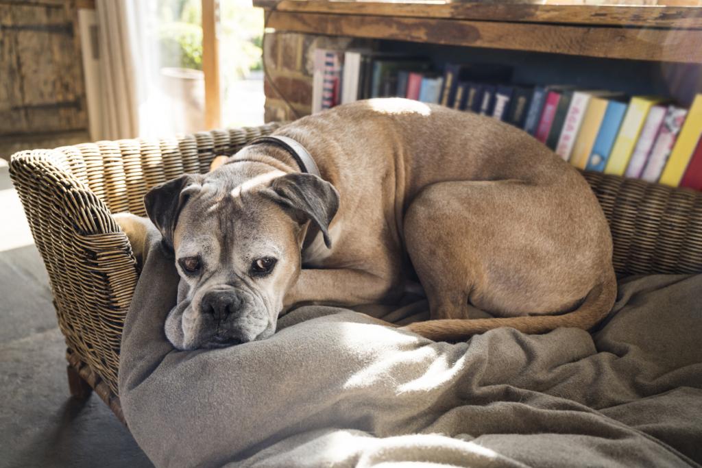 A CCD az idősebb kutyák betegsége