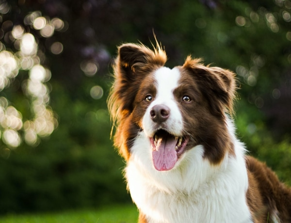 Top 10 legokosabb és legbutább kutyafajta